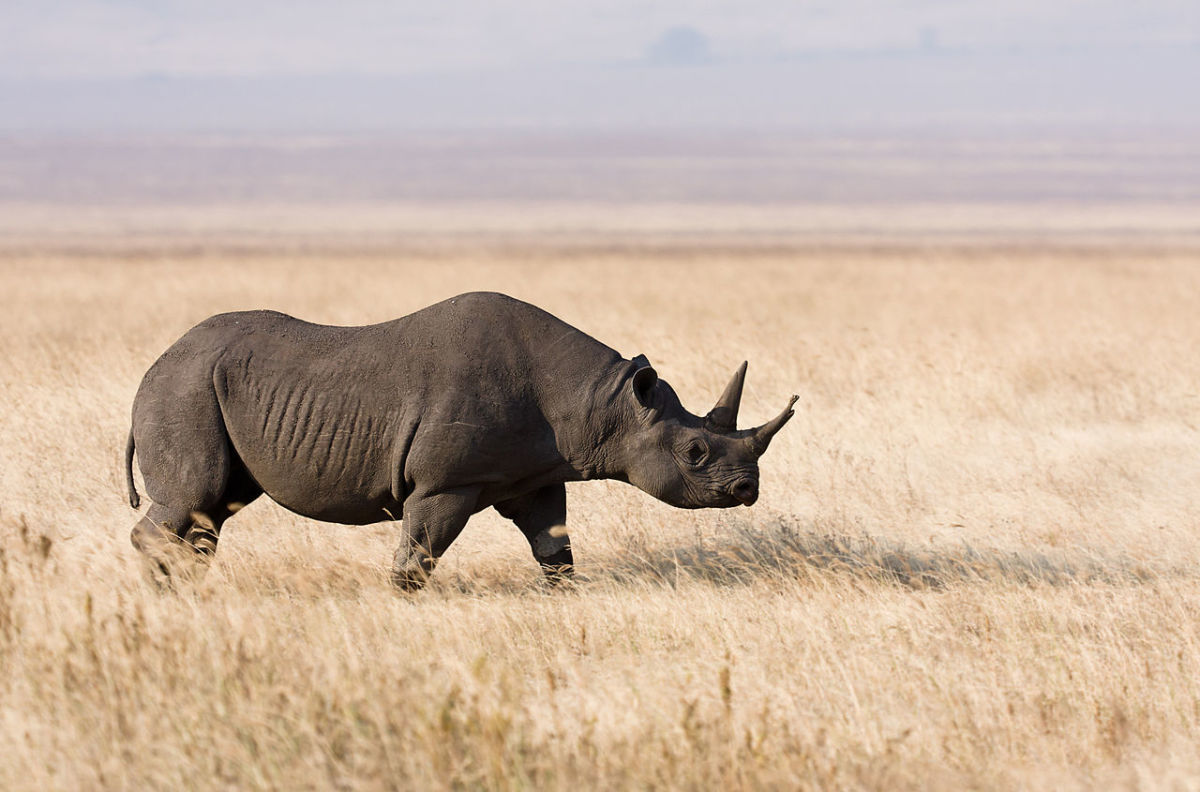 Black Rhinoceros (Scientific Name: Rhinocerotidae)