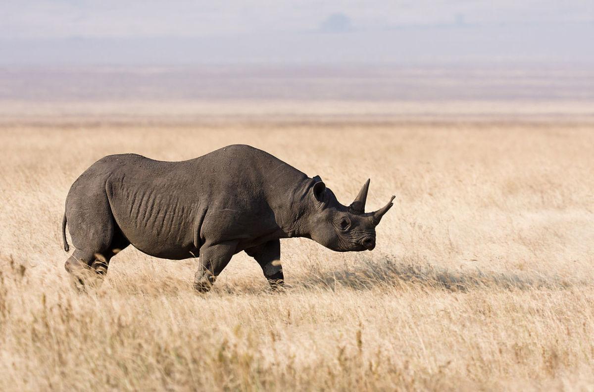 Black Rhinoceros (Scientific Name: Rhinocerotidae)