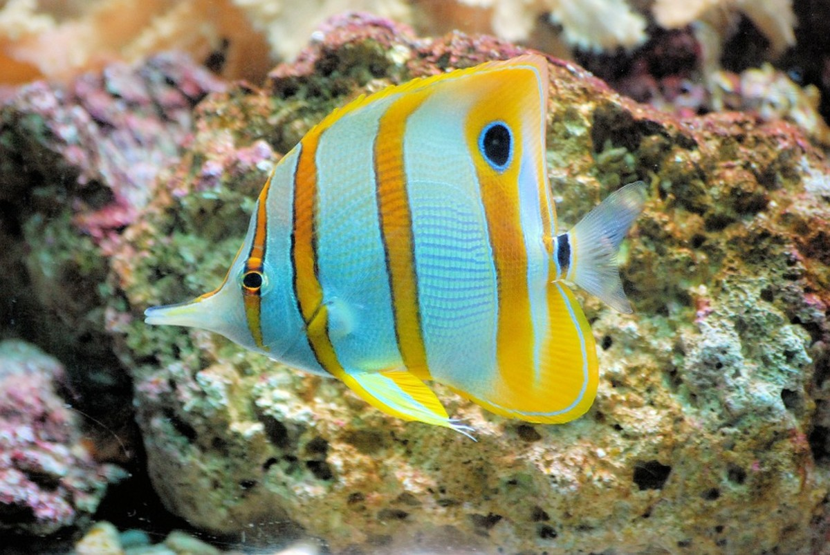 Yellow Longnose Butterflyfish - Forcipiger flavissimus