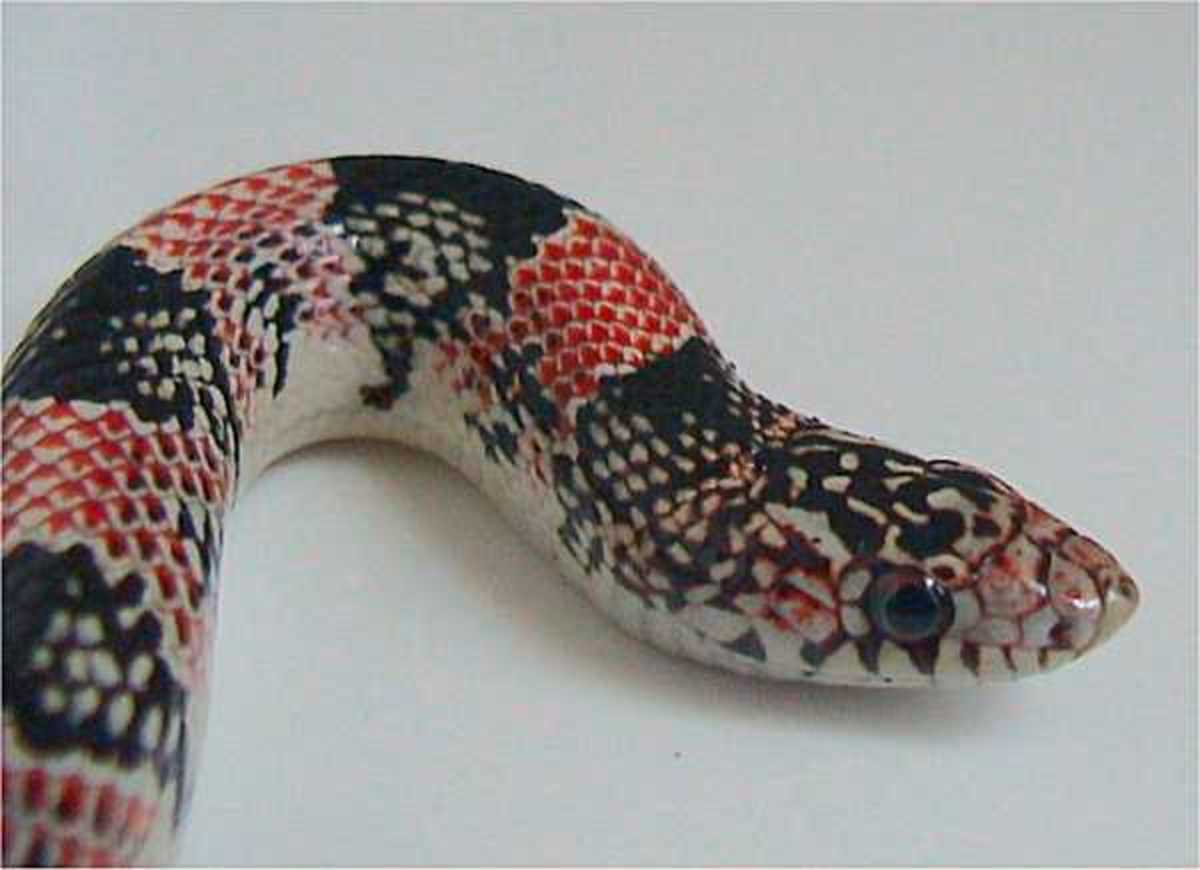 Long-nosed Snake - Rhinocheilus lecontei