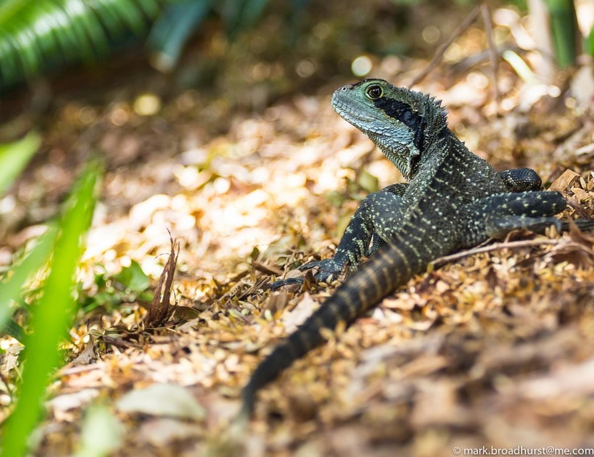 Long-nosed Water Dragon - Gowidon longirostris