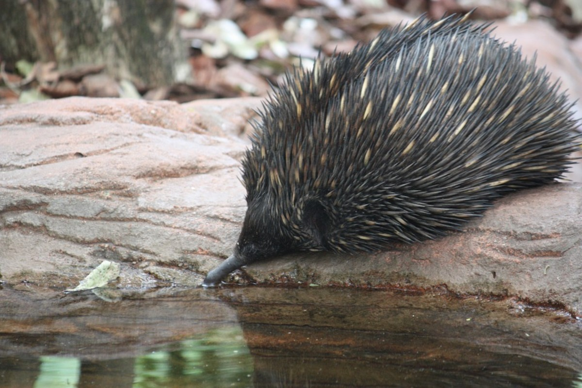 Long-beaked Echidna - Scientific Name: Zaglossus