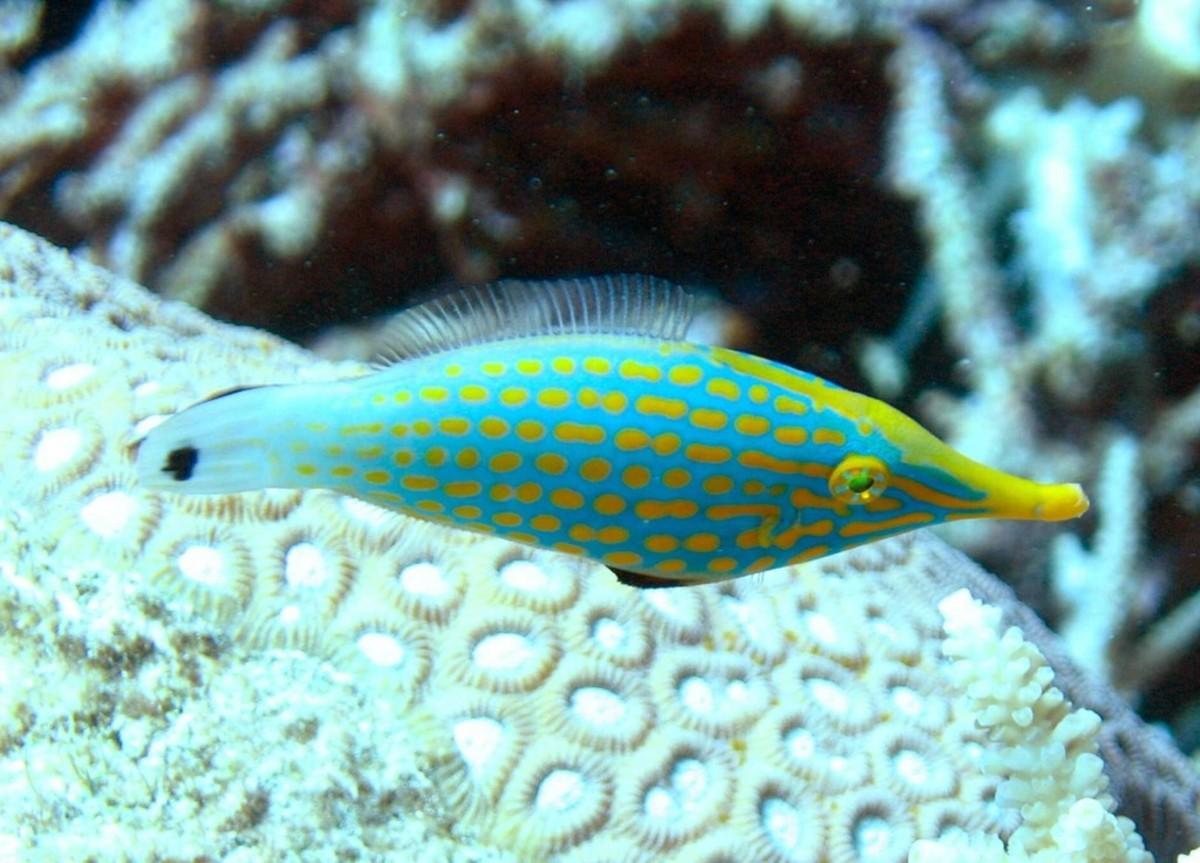 Orange-spotted Filefish - Oxymonacanthus longirostris