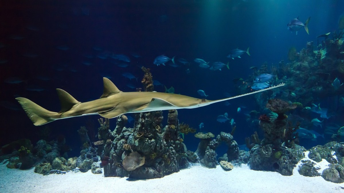 Common Sawshark - Pristiophorus cirratus