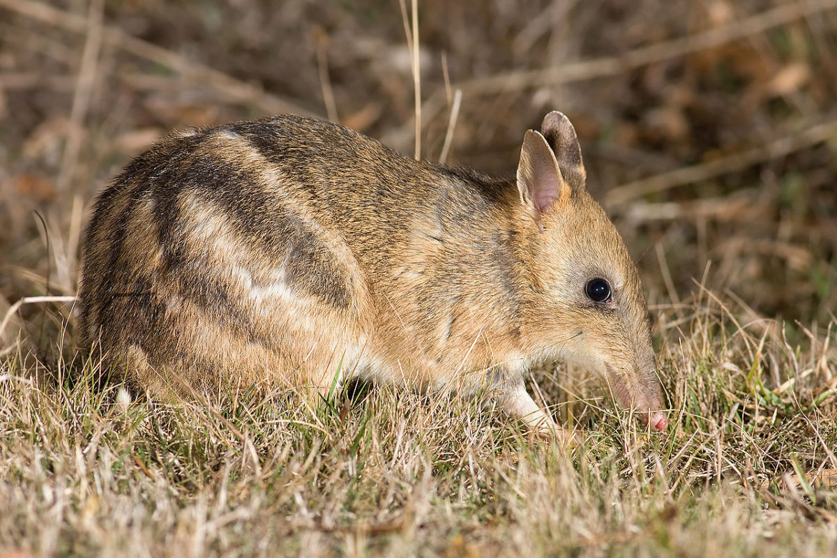 Long-Nosed Bandicoot (Scientific Name: Perameles)