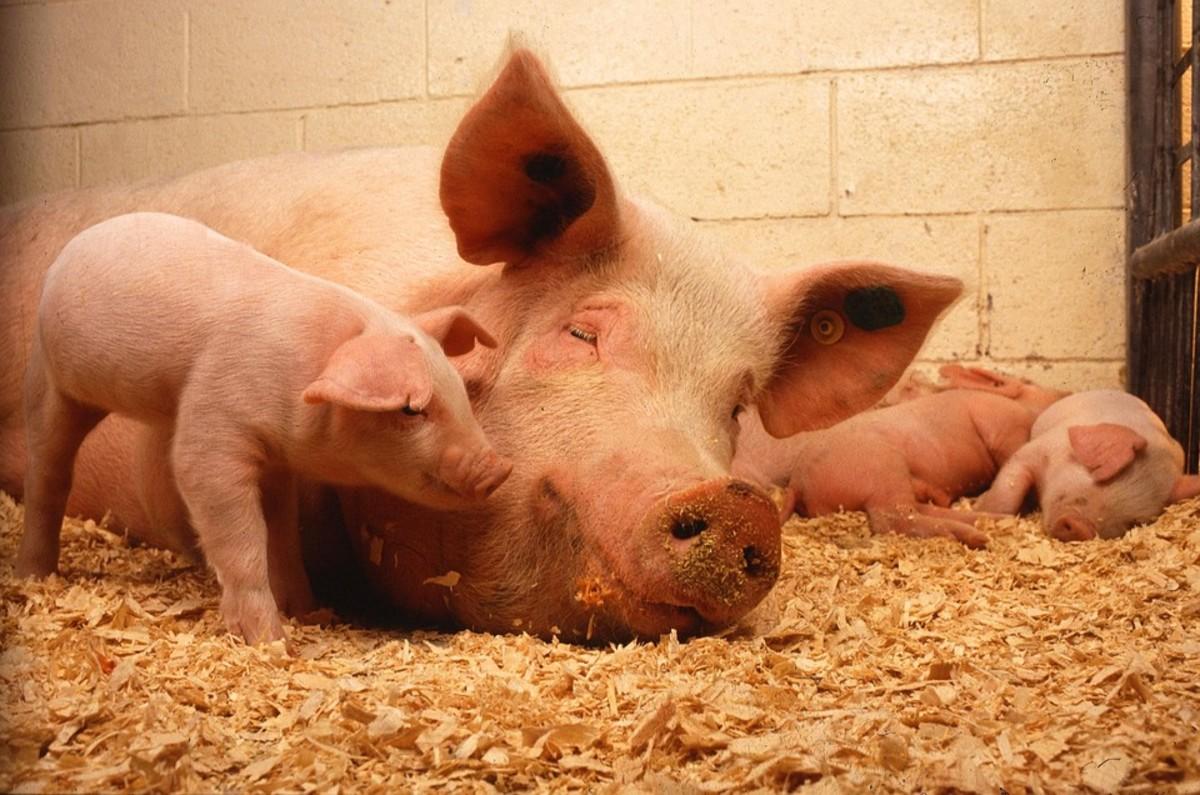 Domestic Pig - Scientific Name: Sus scrofa domesticus