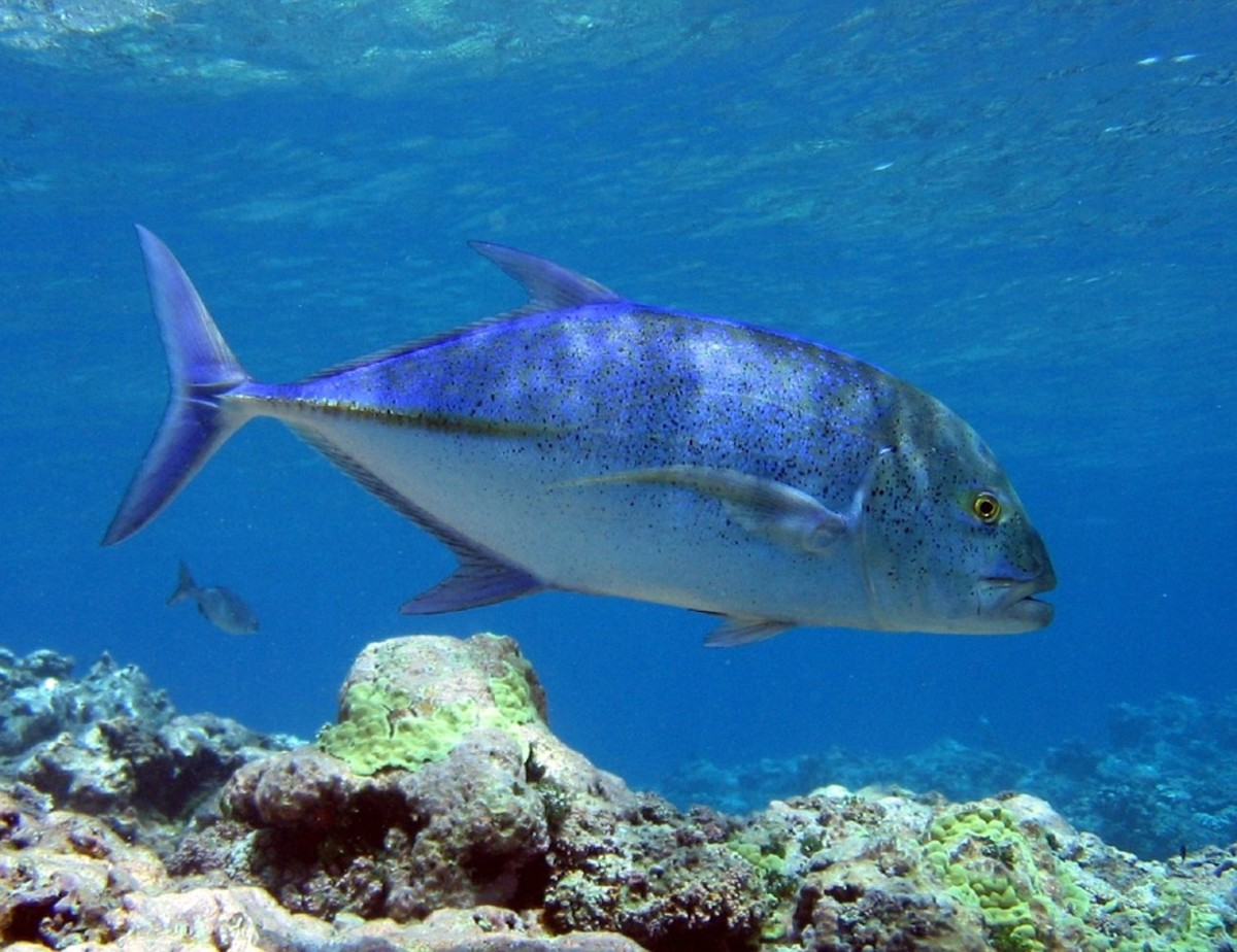 Tea-Leaf Trevally - Carangoides chrysophrys
