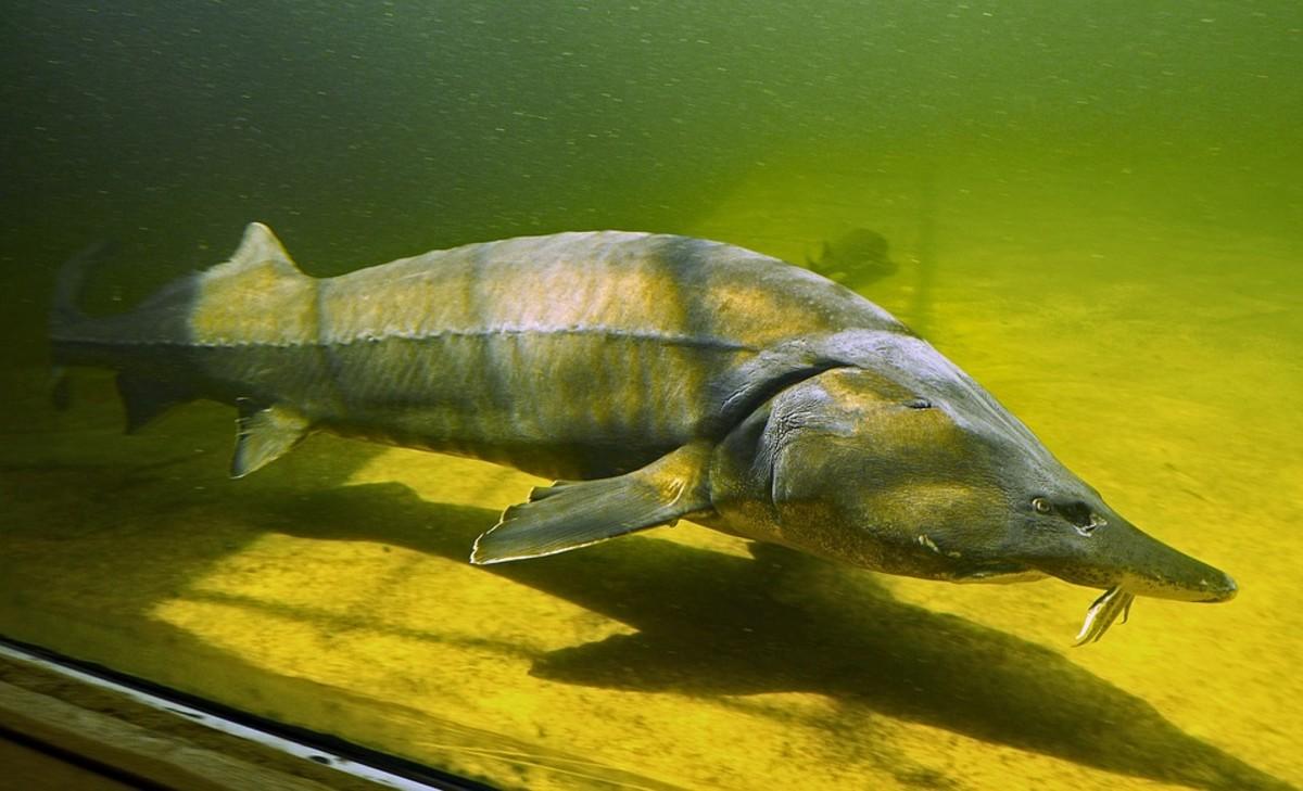Siberian Sturgeon - Acipenser baerii