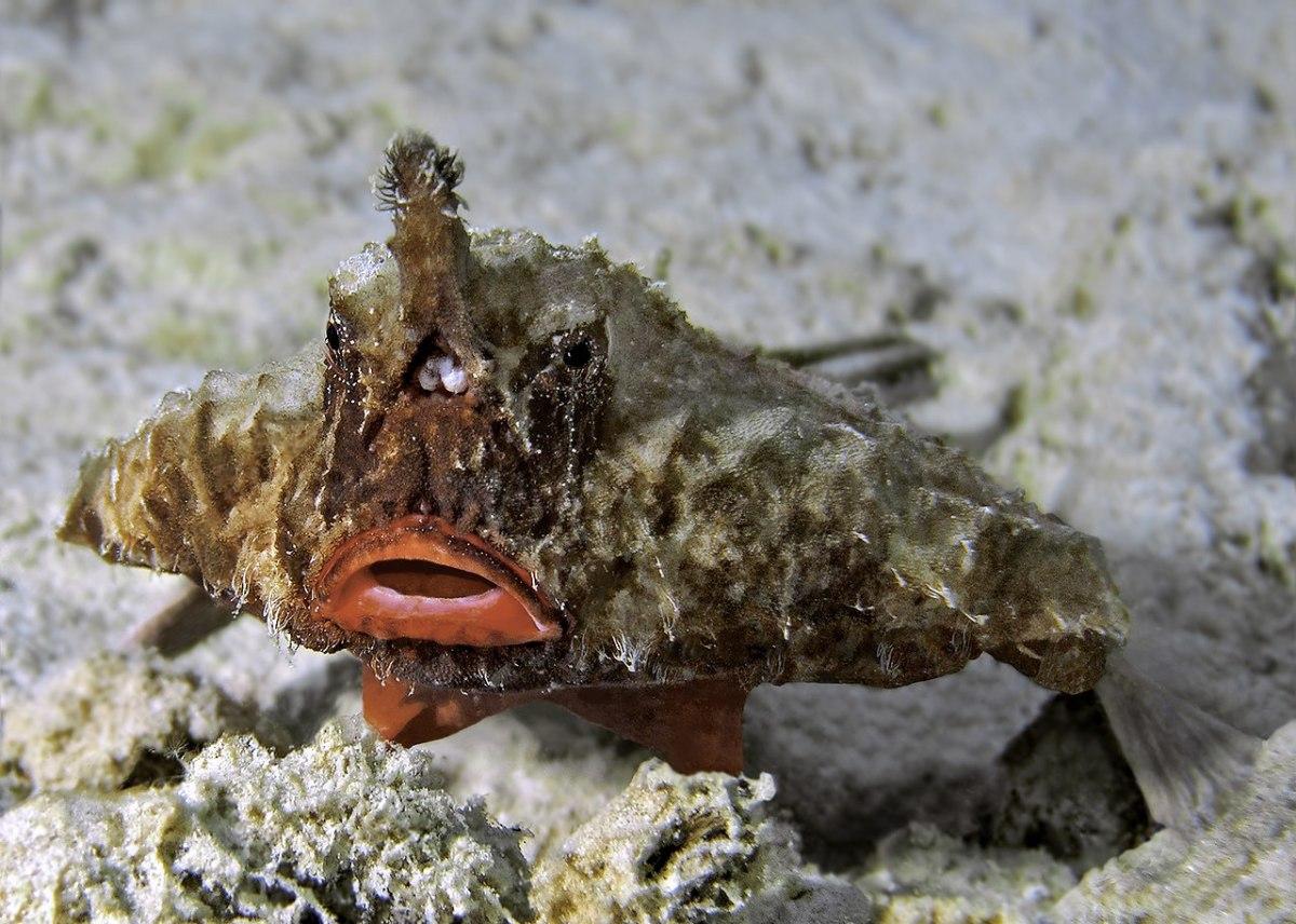 Longnose Batfish - Ogcocephalus corniger