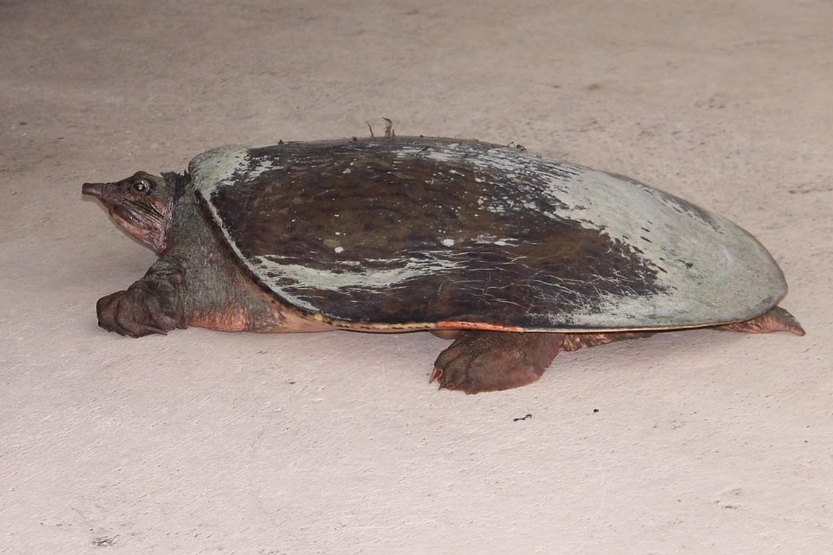 Spiny Softshell Turtle - Apalone spinifera