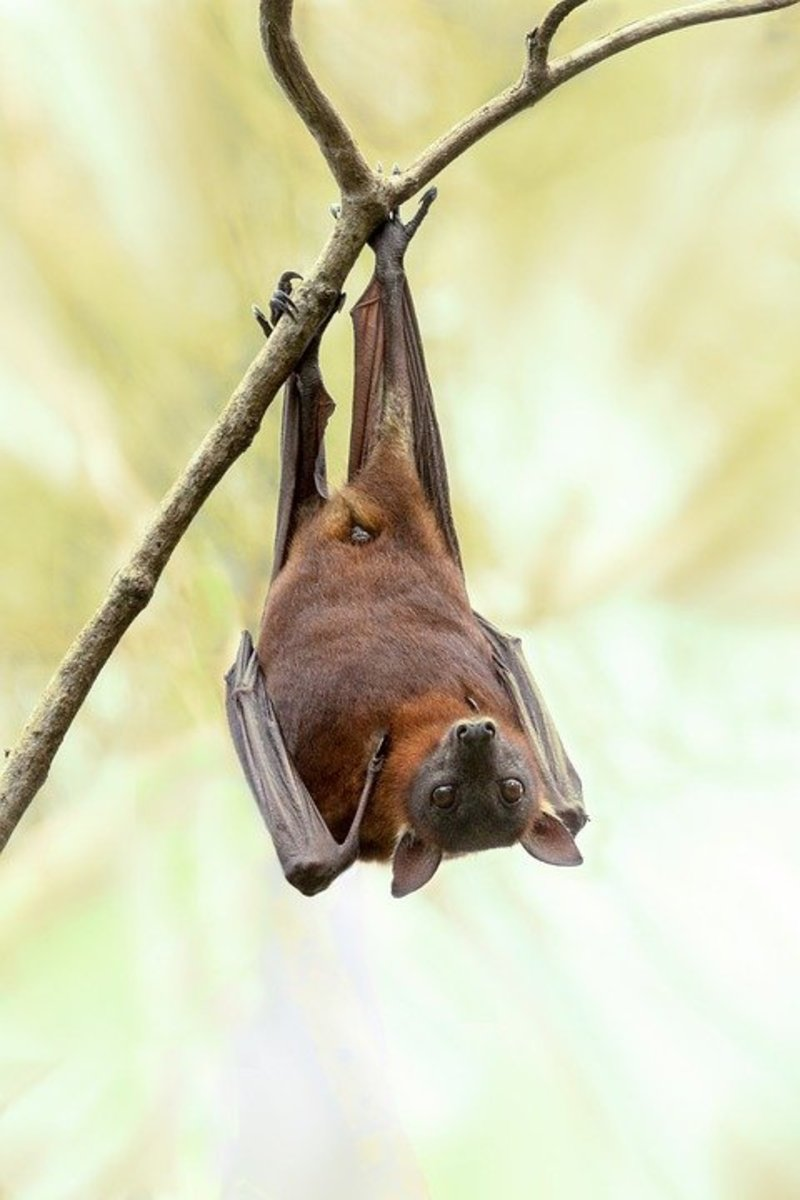 Greater Long-nosed Bat (Leptonycteris Nivalis)