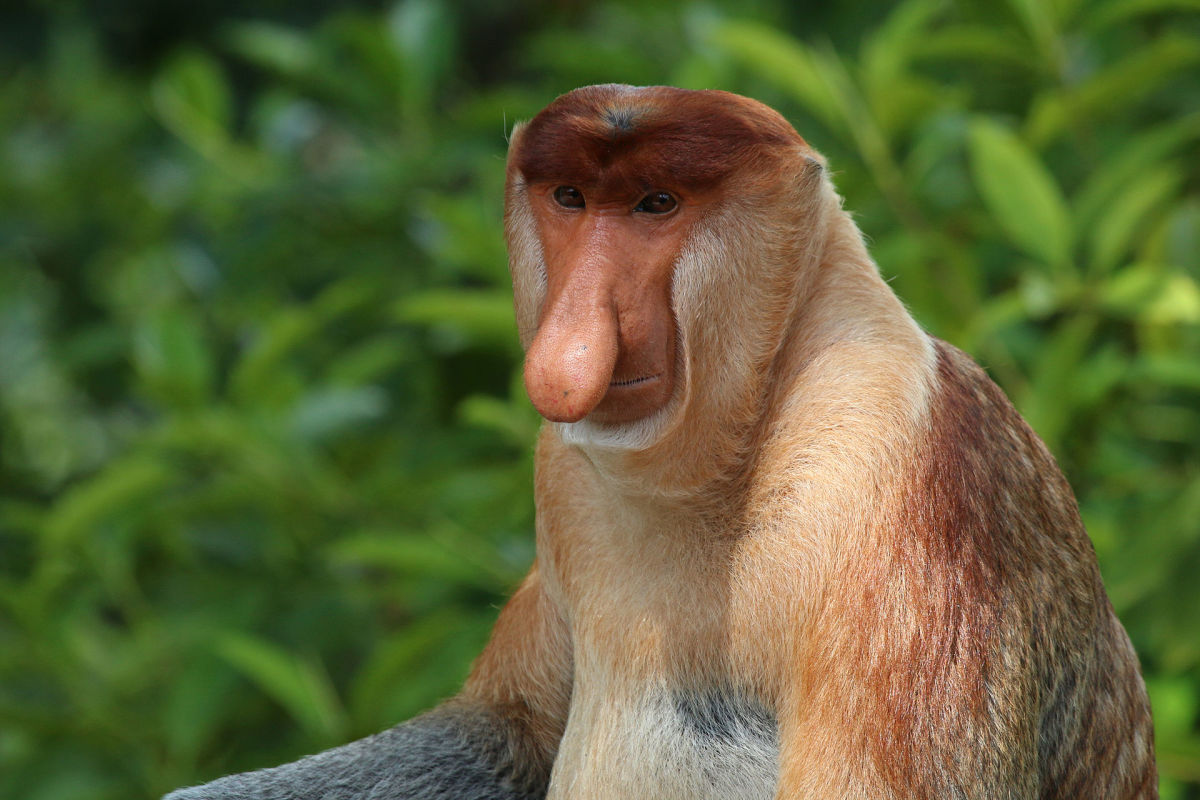 Nosy Monkey or Proboscis Monkey (Scientific Name: Nasalis larvatus)