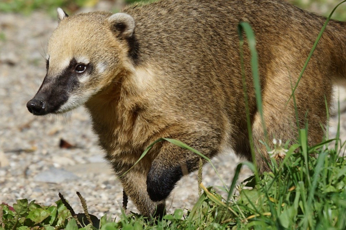 South American Coati - Scientific Name: Nasua nasua