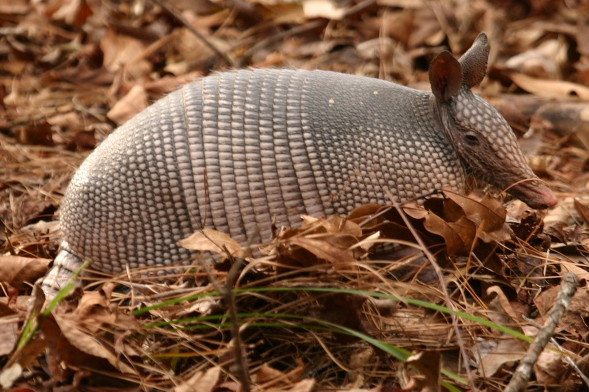 Long-nosed Armadillo: Dasypus