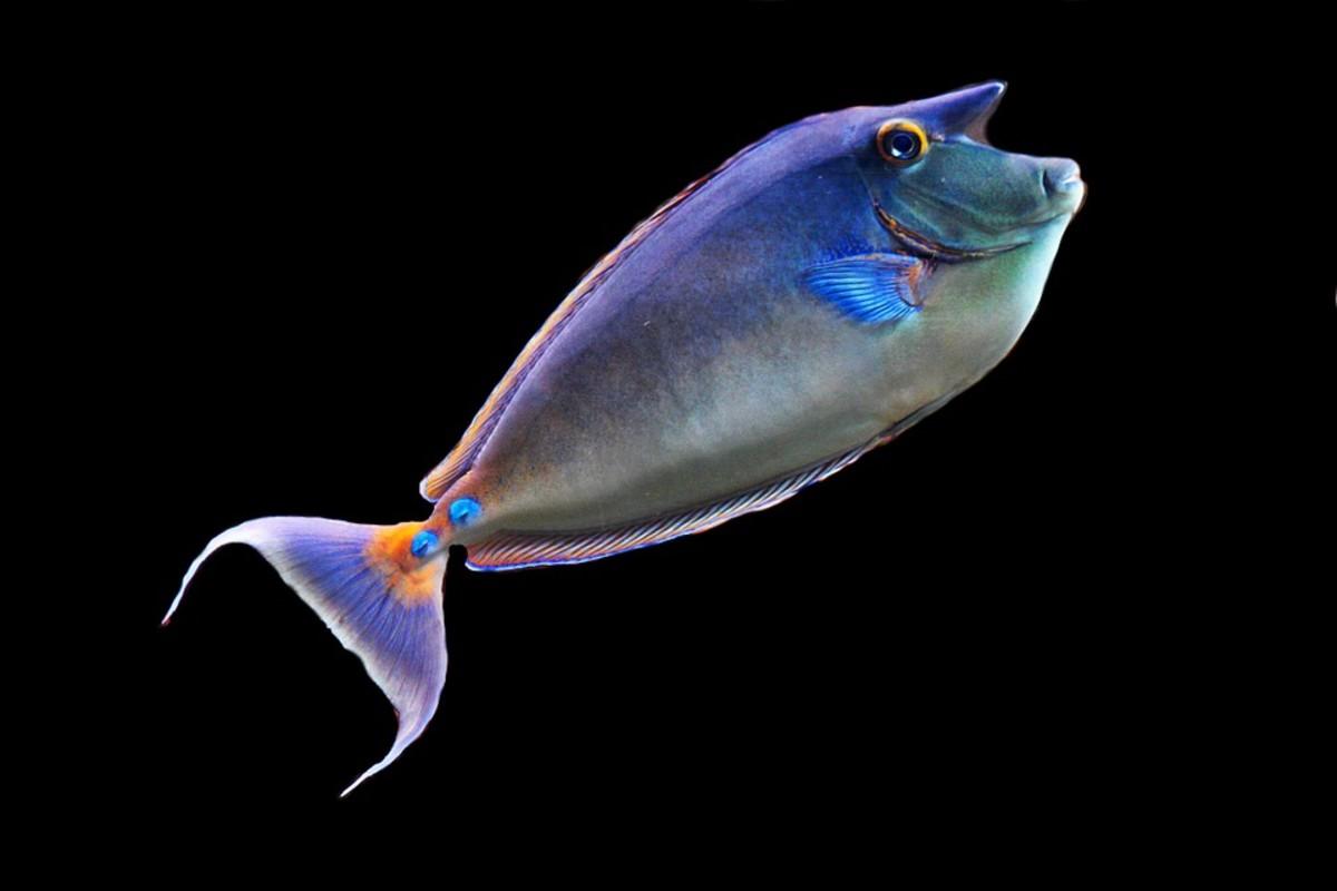 Unicornfish - Naso