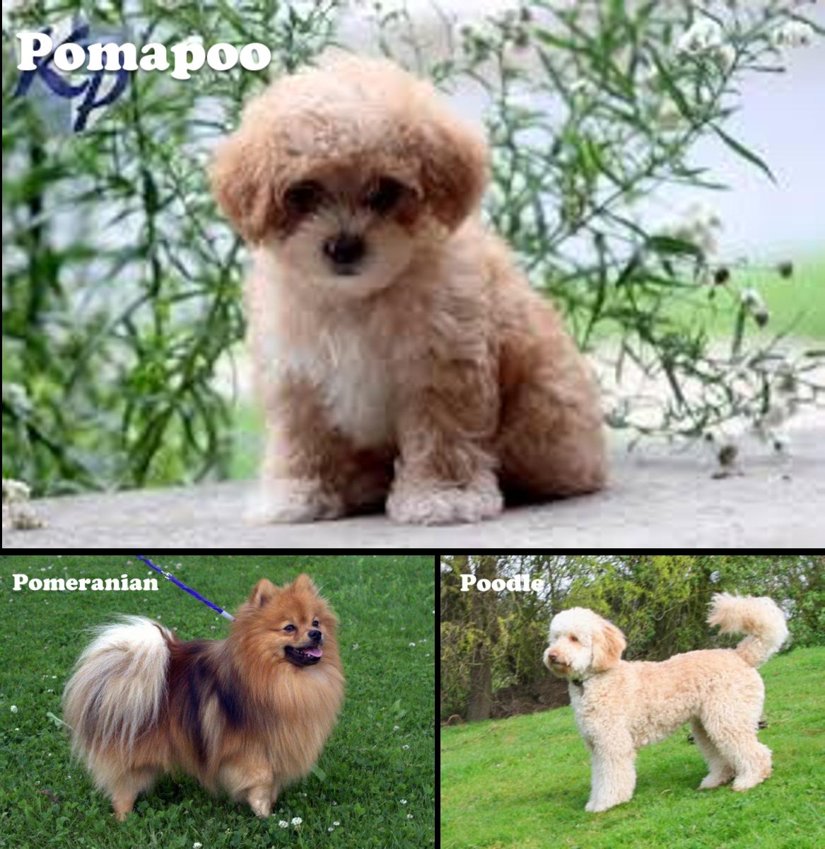 Pomapoo (Pomeranian / Poodle Mix)