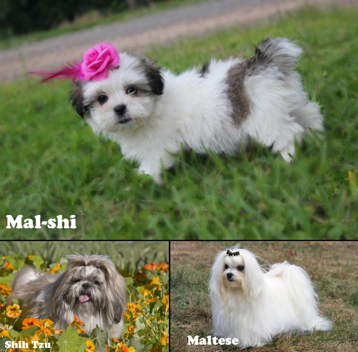 Mal-shi, (Maltese / Shih Tzu mix)