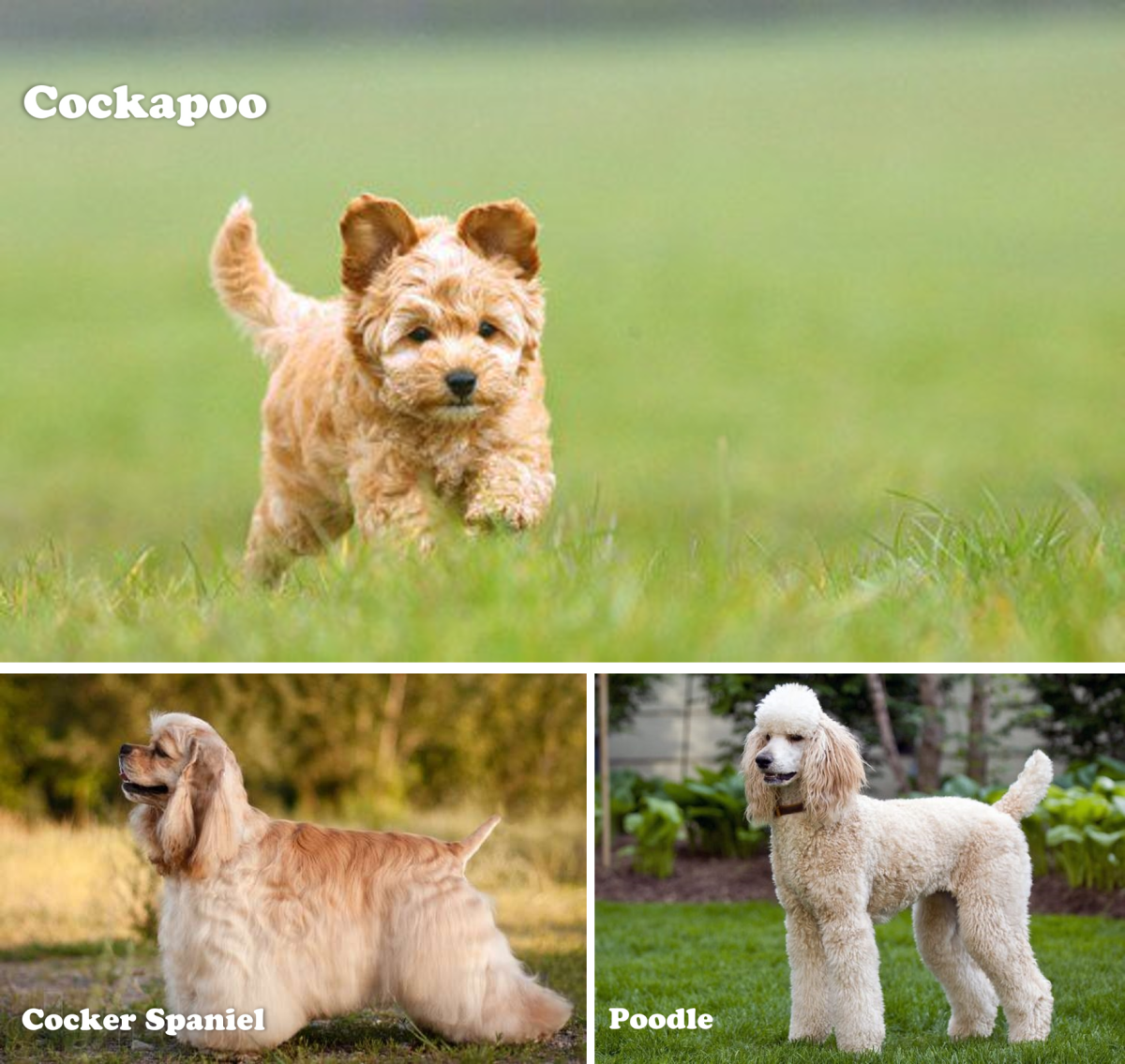 Cockapoo, Cocker Spaniel and Poodle dogs