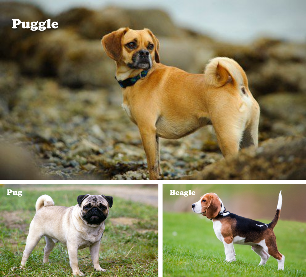 Puggle (Pug and Beagle mix)