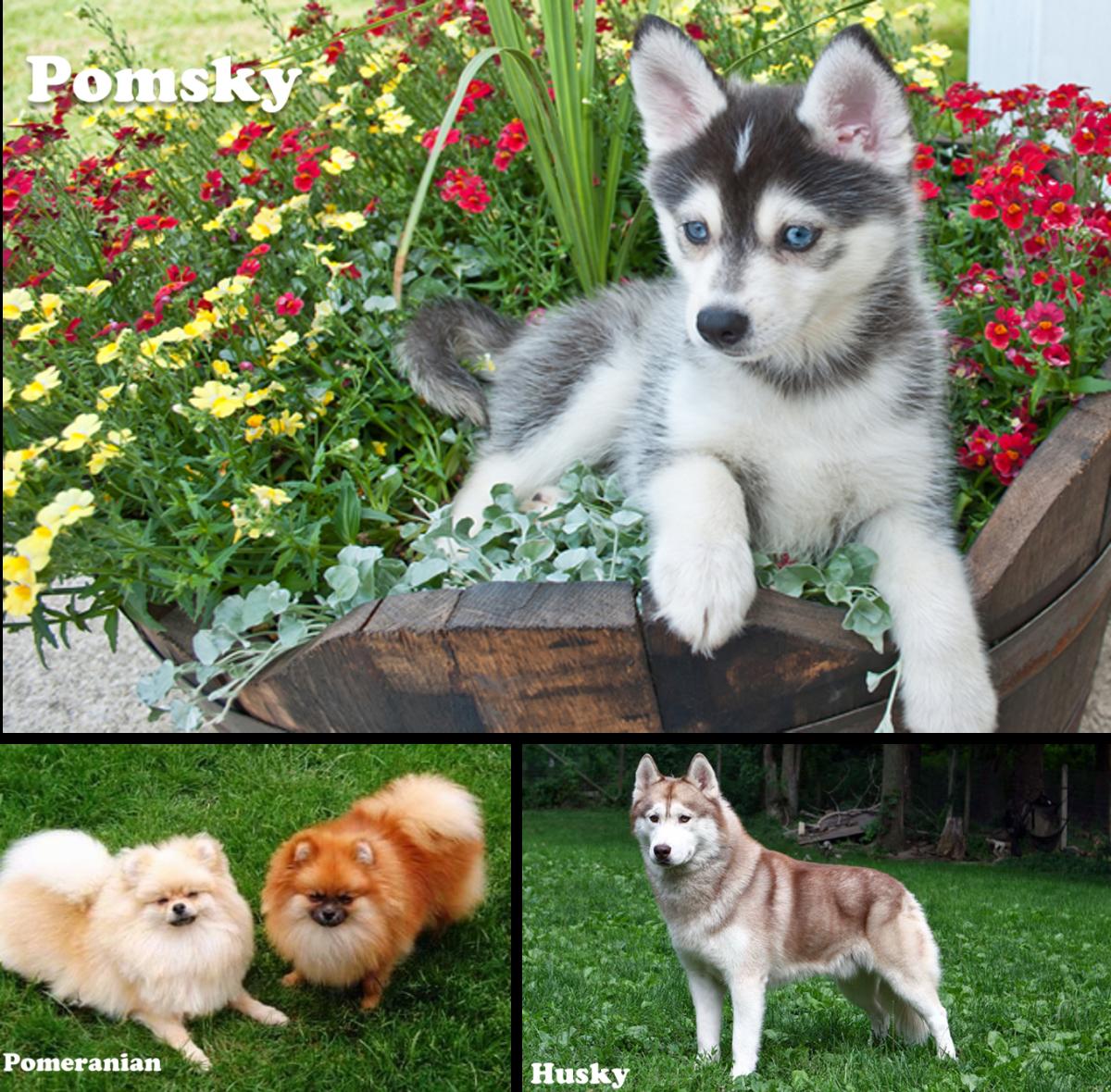 Pomsky/ or Pomskies (Pomeranian and husky mix)