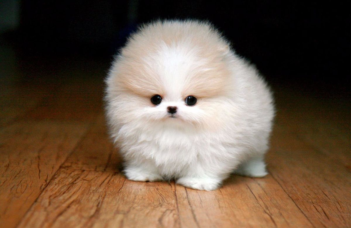 10 Most Popular Designer Dogs of Small or Toy Category