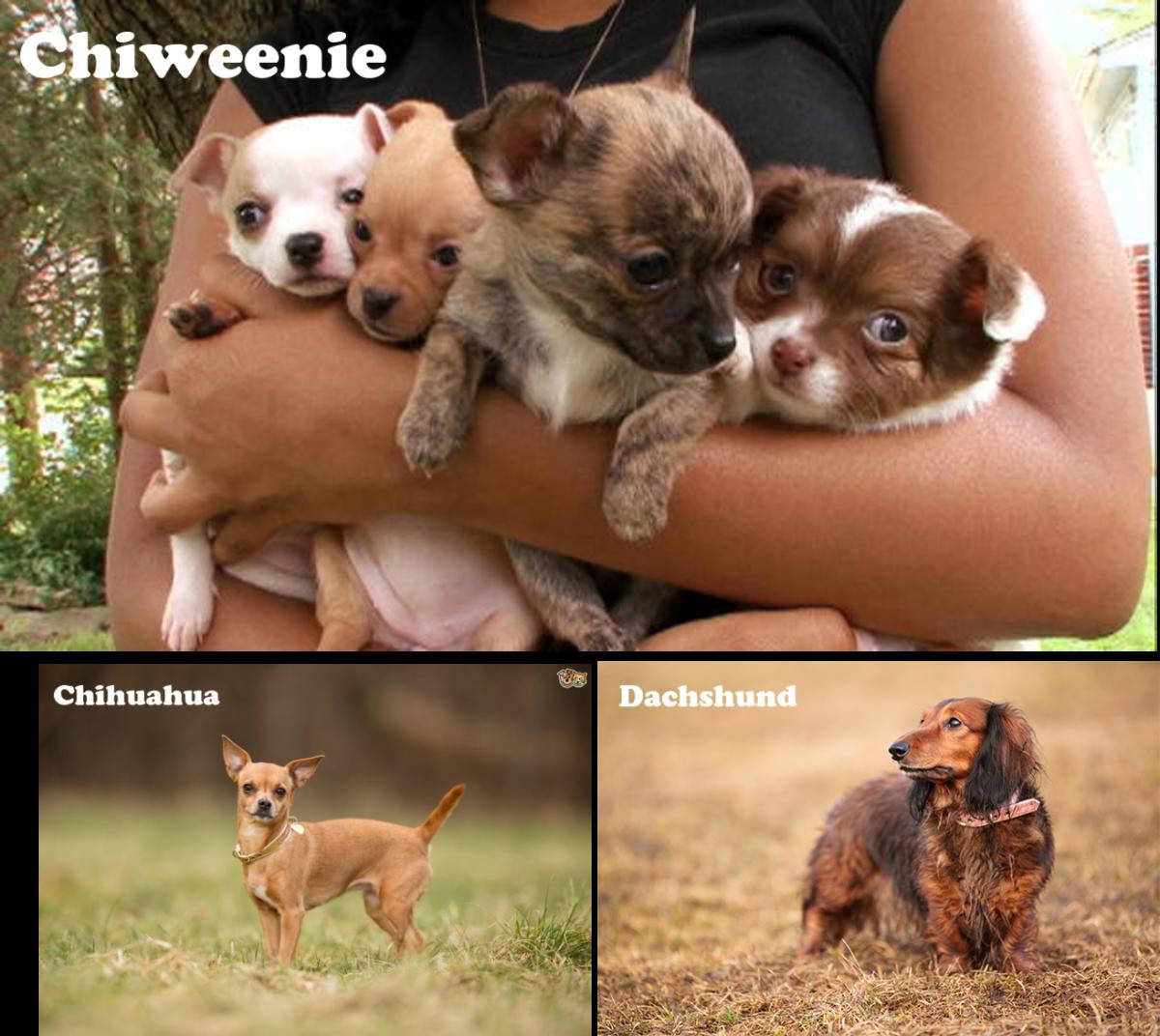 Chiweenie, Chihuahua and Dachshund mix