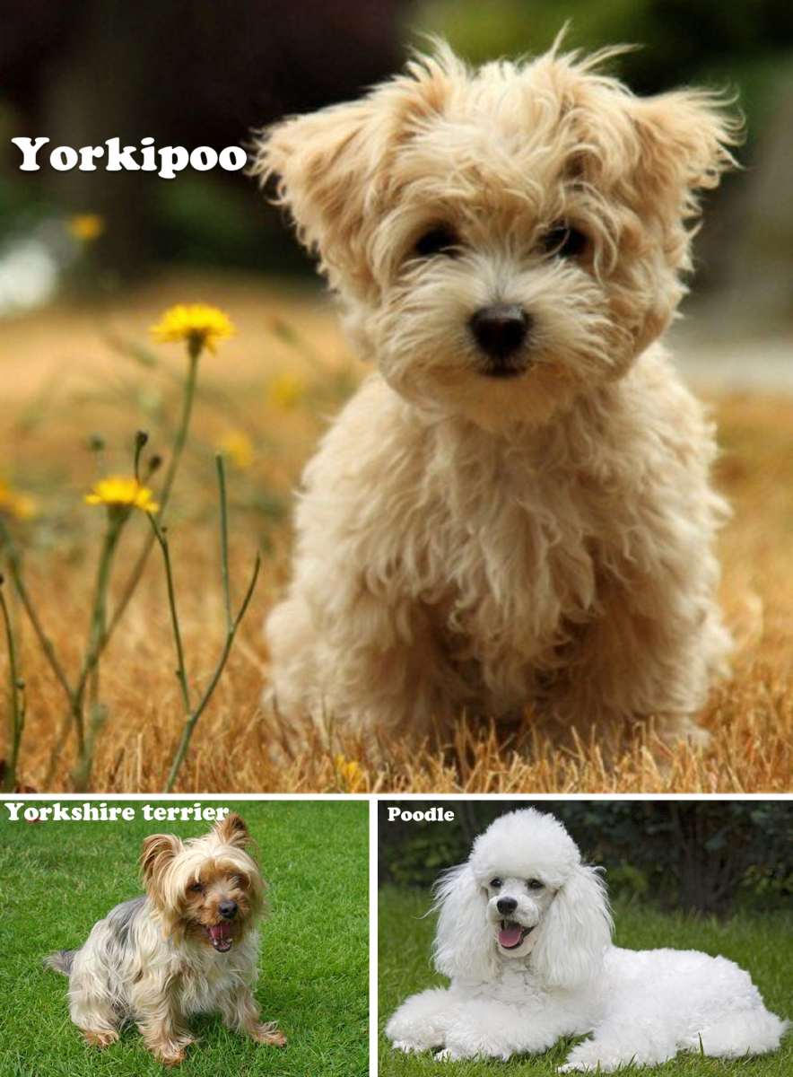 Yorkipoo,(Yorkshire Terrier X Poodle)