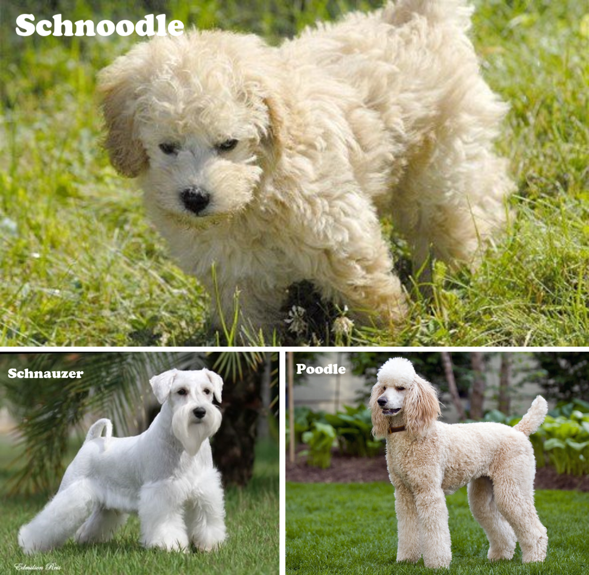 Schnoodle (Schnauzer and Poodle)