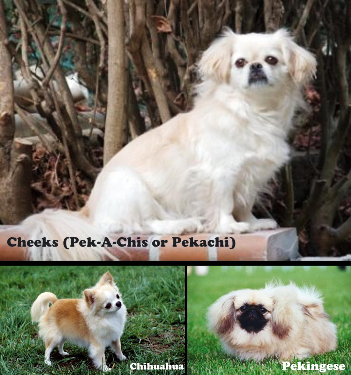 top-10-designer-dog-breeds
