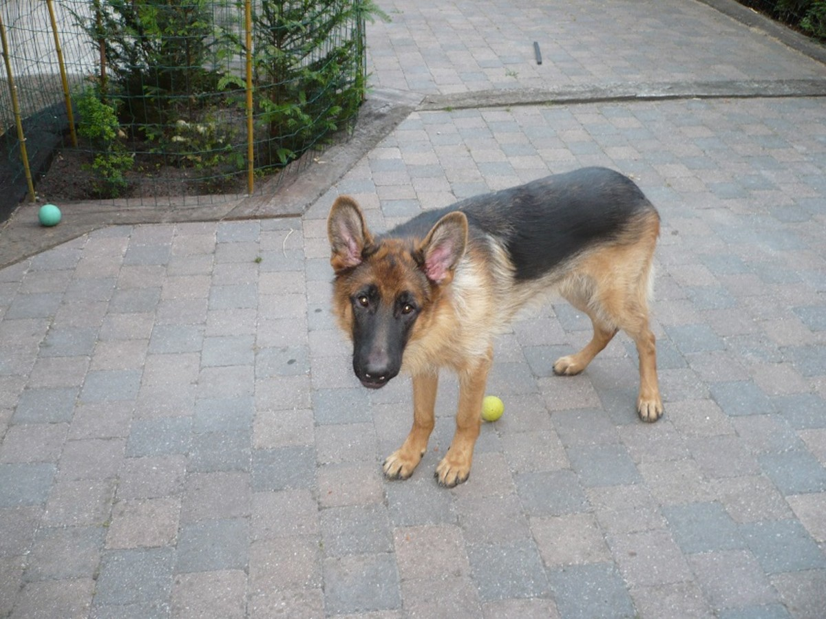The Best Food for a German Shepherd Puppy to Gain Weight?