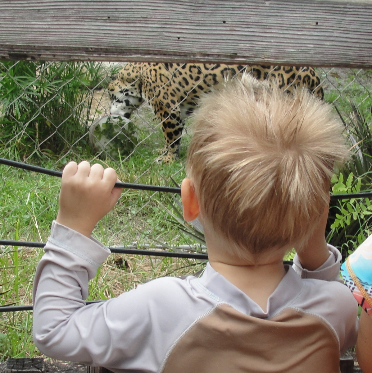 Spying the jaguar after playing in the splash pad at the Jacksonville Zoo (where we get in free with our AZA membership)