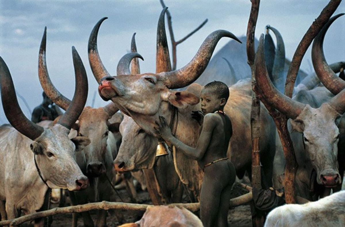 The cow remains sacred to the Dinka tribe of South Sudan.