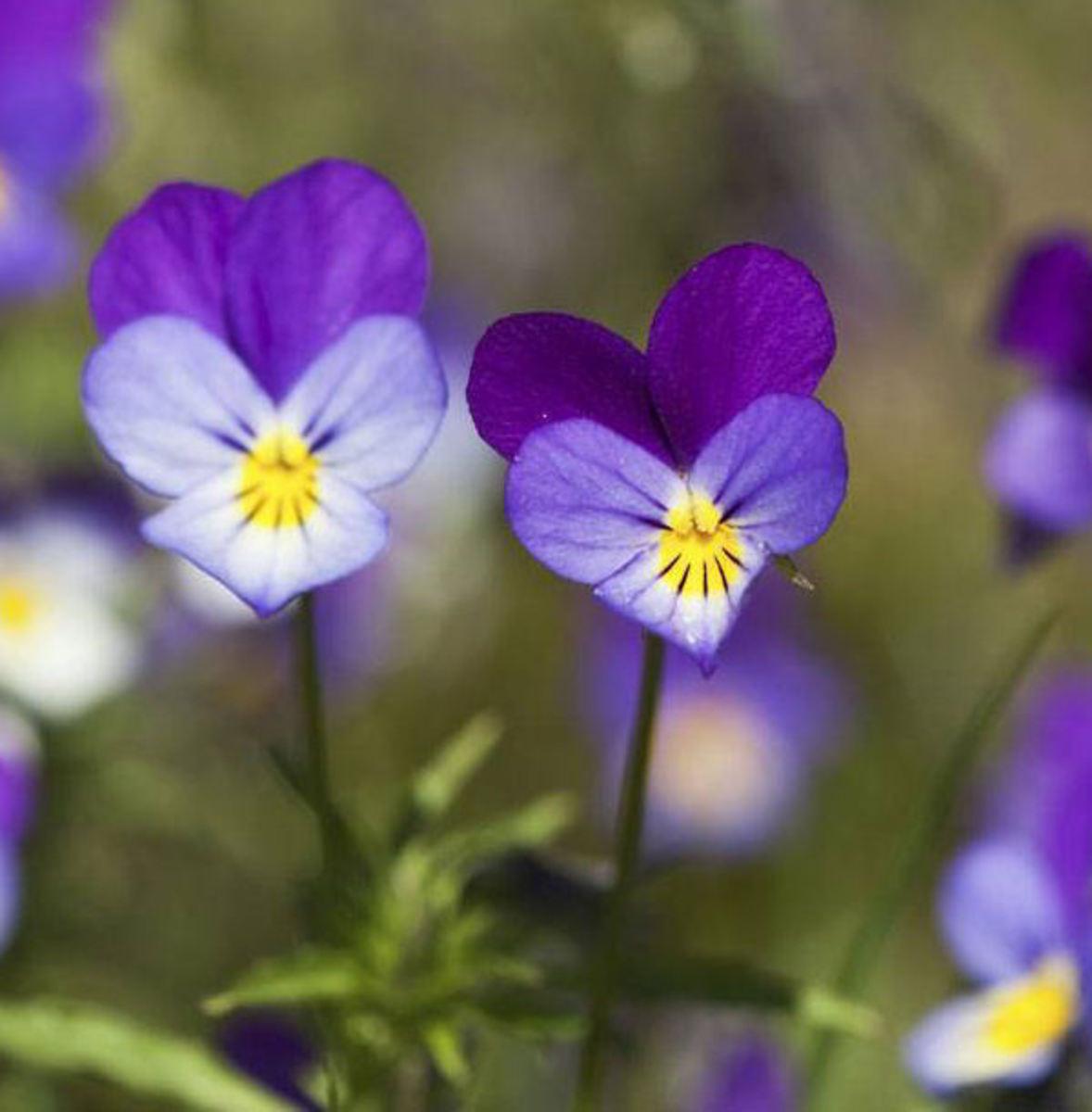 Wild Pansy purple