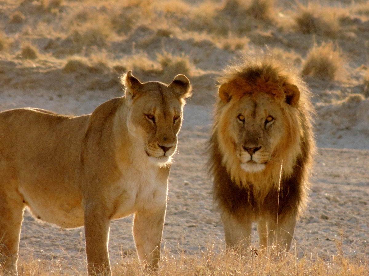 African Lioness and Lion