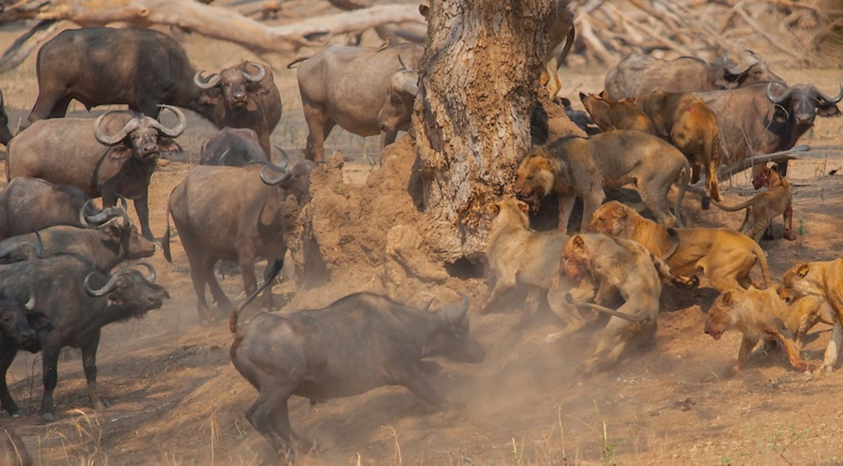 Buffalo vs Lions: The Battle at Kruger