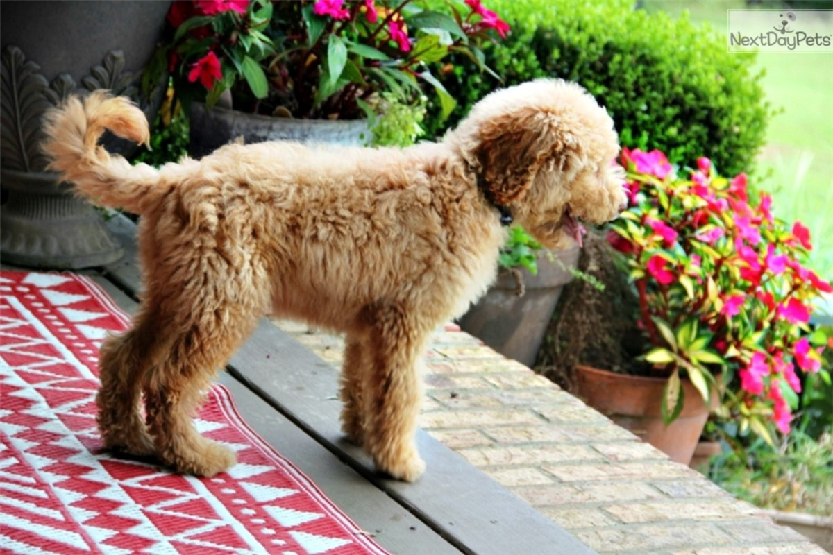 (cc image, NextDayPets) A Puppy Labradoodle