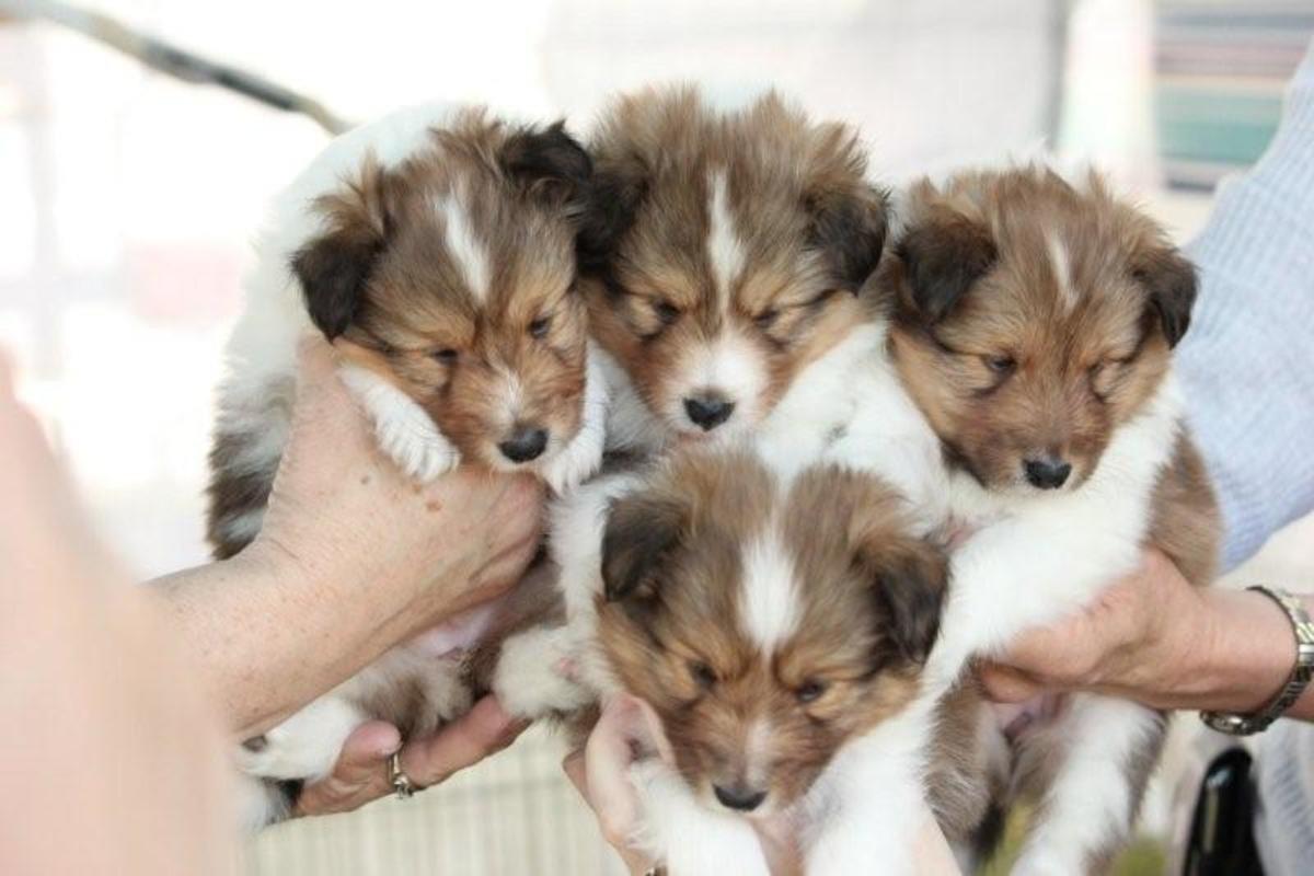 "(cc image, Pinterest) Shetland ""Sheltie"" Sheepdog Puppies"