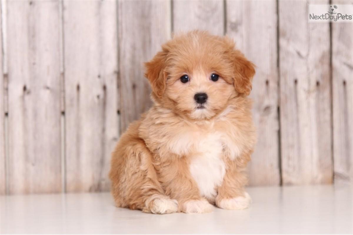 (cc image, NextDayPets) Maltipoo Puppy