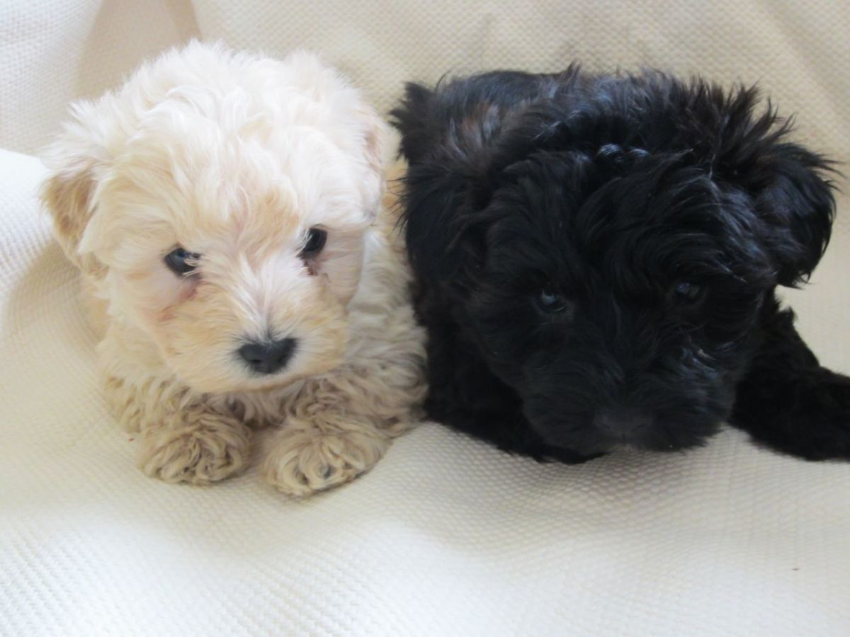 (cc image) Westiepoo Puppies