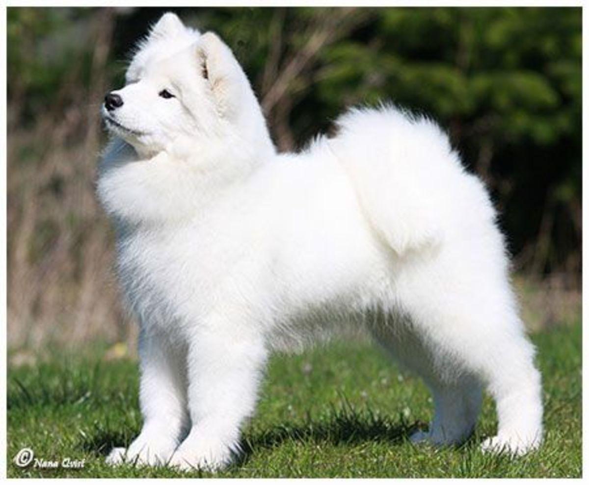 (cc image, WhiteMagicSamoyeds) - A Puppy Samoyed