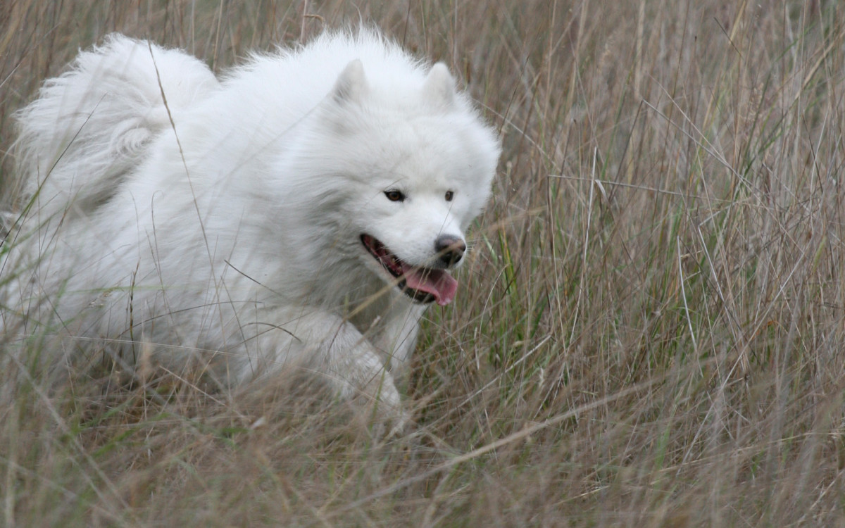 (cc image, Wikimedia Commons) A Fully-Grown Samoyed - THE VERY BEST DOGS LIST
