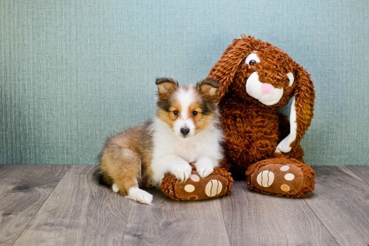 (cc image, PremierPups) Mini-Sheltie Puppy
