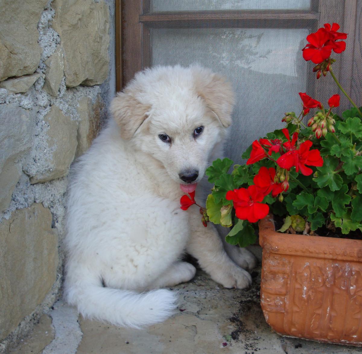 (cc image, Wikimedia Commons) Maremma Sheepdog Puppy
