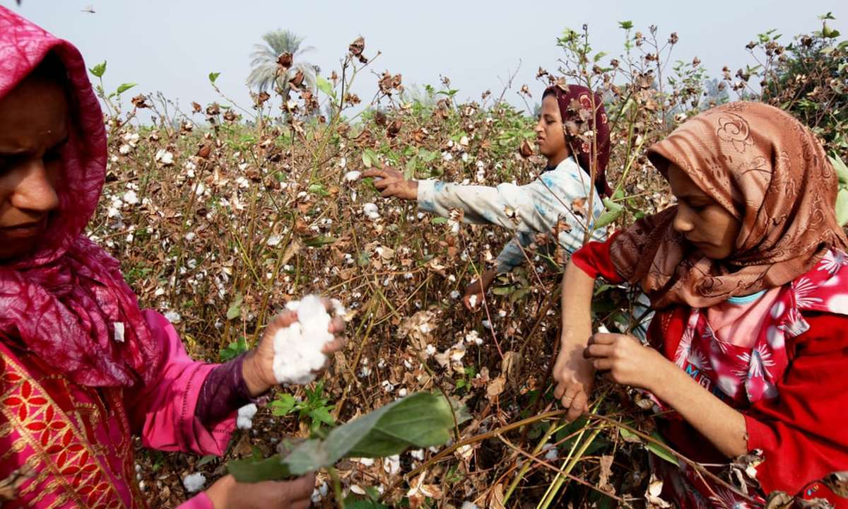 Agricultural employees harvest cotton in a field in Benha, Egypt