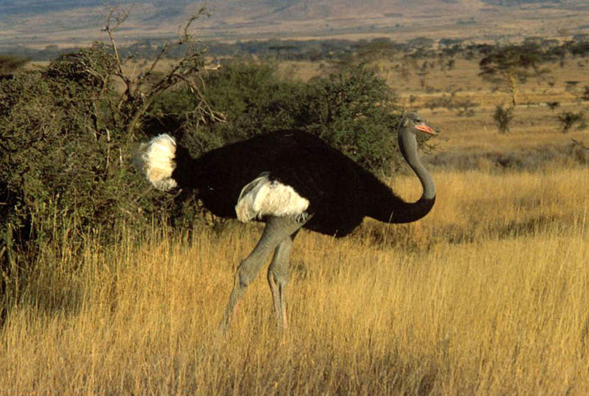 The Somali Ostrich diverged from its Ostrich relatives sometime between 4.1 and 3.6 million years ago.