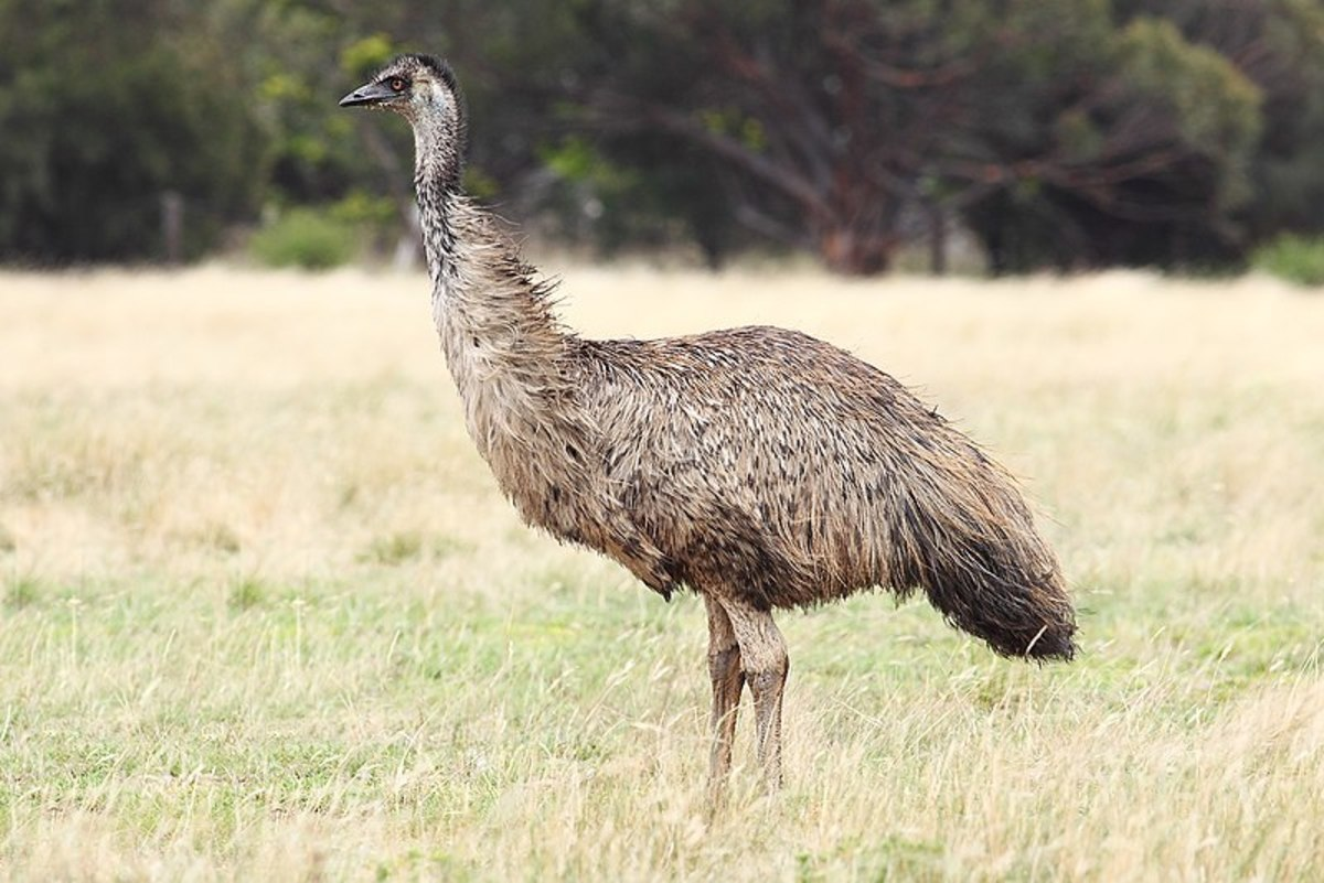 The Emu is the third tallest bird in the world after its two Ostrich relatives. It can reach up to 6ft 2 inches.