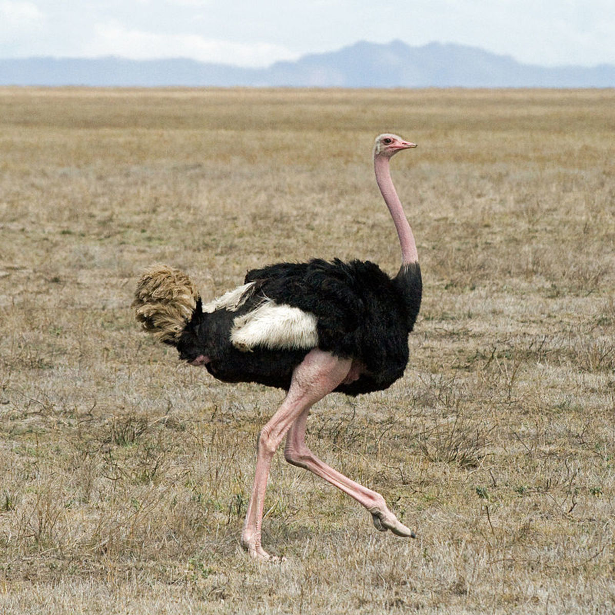 The Common Ostrich is undoubtedly a very large bird, but does it top this list.
