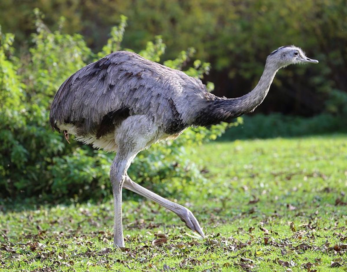 Since 2000 a small population of Greater Rheas' has established itself in Germany, making them the only flightless birds to be found in Europe.