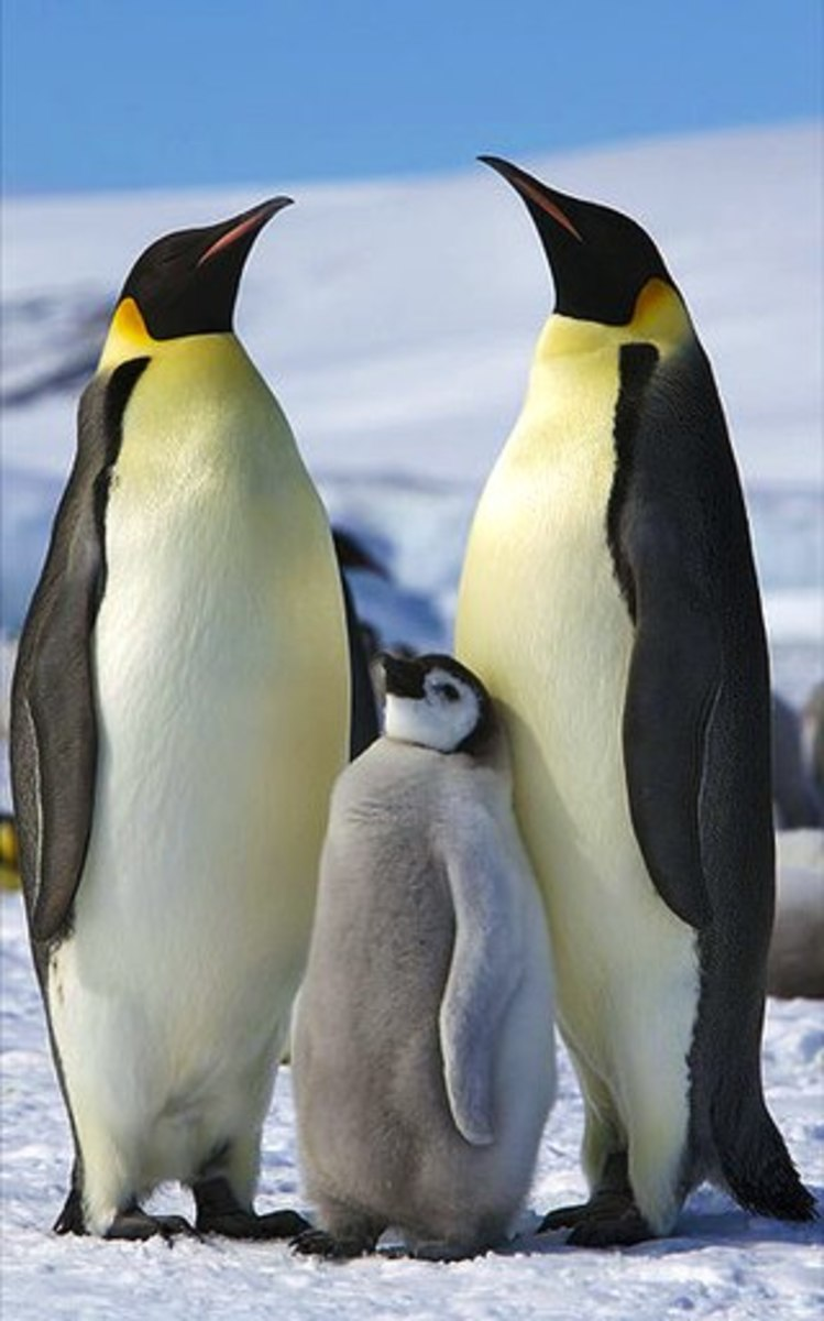 Emperor Penguins are the only penguins that breed during the savage Antarctic winter. They often to have withstand temperatures of -40 degrees C.