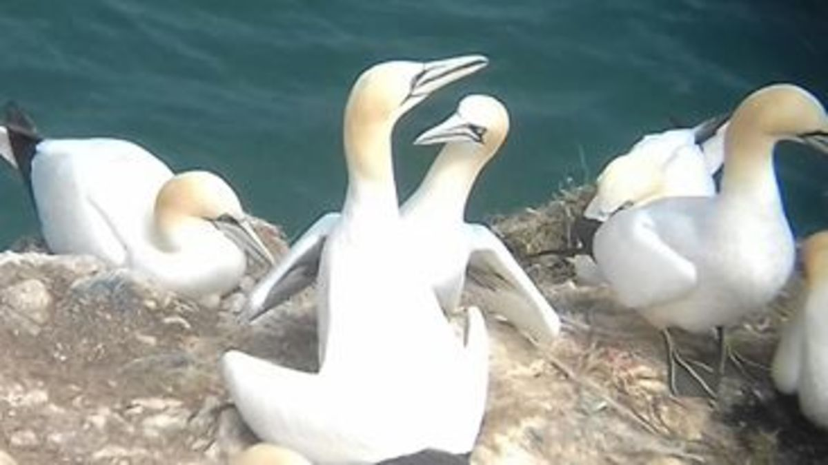Northern gannet pairs often greet each other by performing a mutual fencing ceremony.